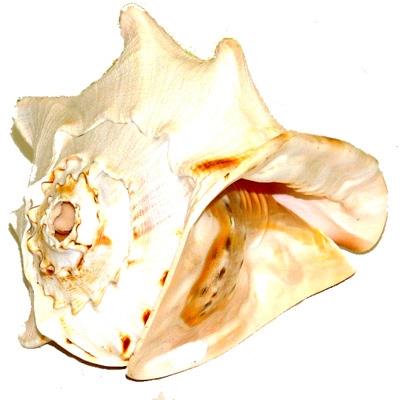 Pacific Conch